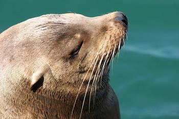 sea_lion.jpg